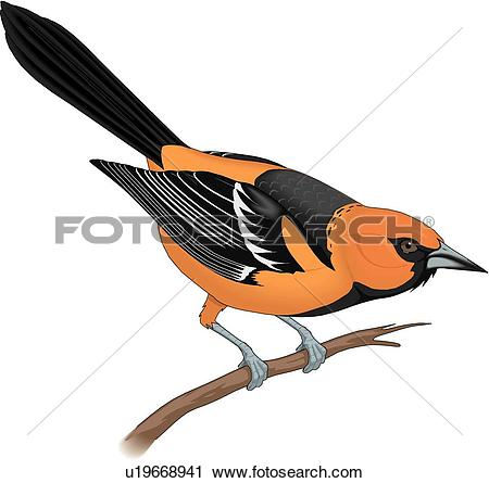 Oriole Stock Photo Images. 419 oriole royalty free images and.
