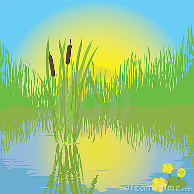 Bulrush Stock Illustrations.