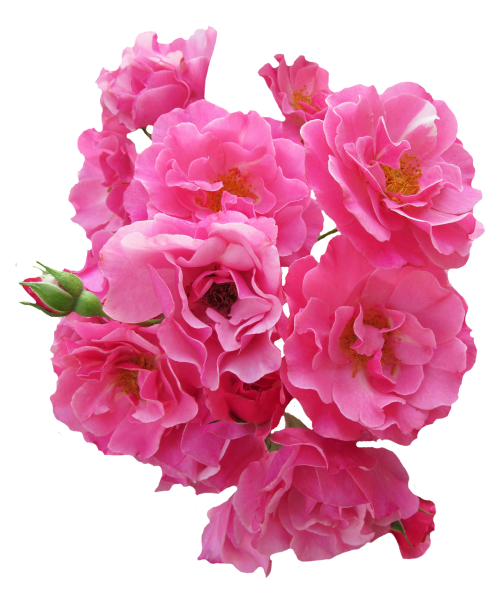 Bunch Pink Rose Flower PNG Image.
