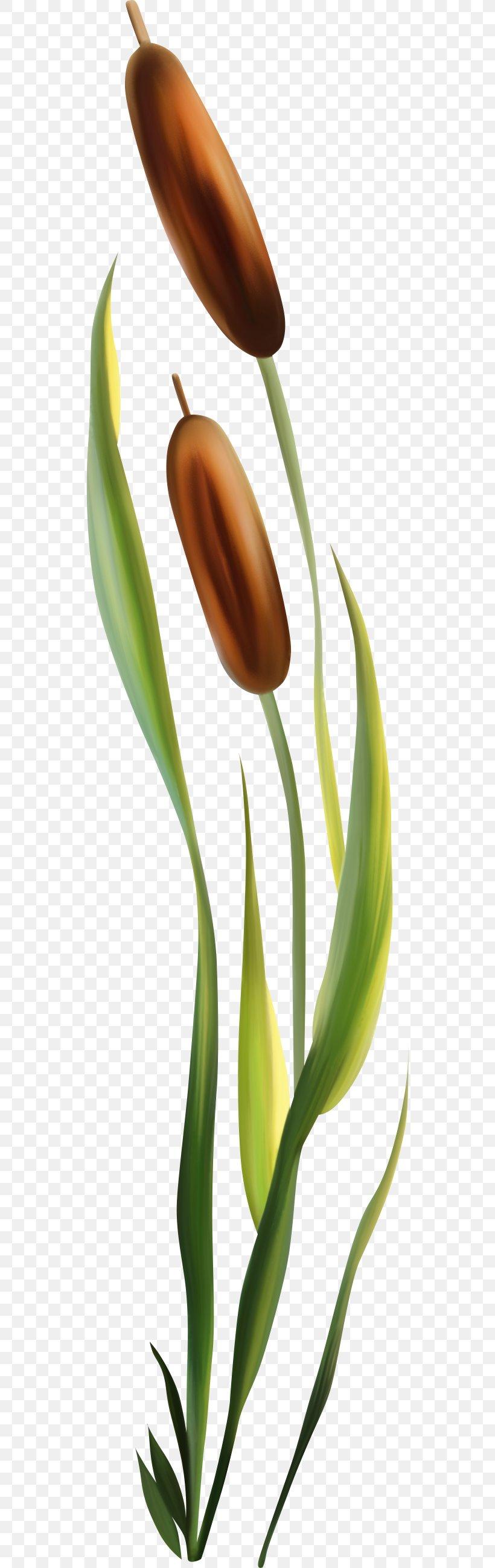 Scirpus Photography Aquatic Plants Clip Art, PNG, 534x2598px.