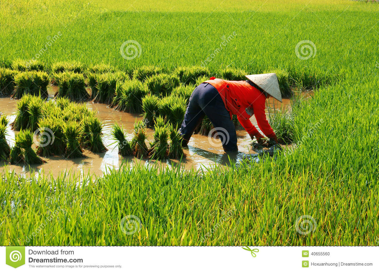 Vietnamese Farmer Work On Rice Field Editorial Image.