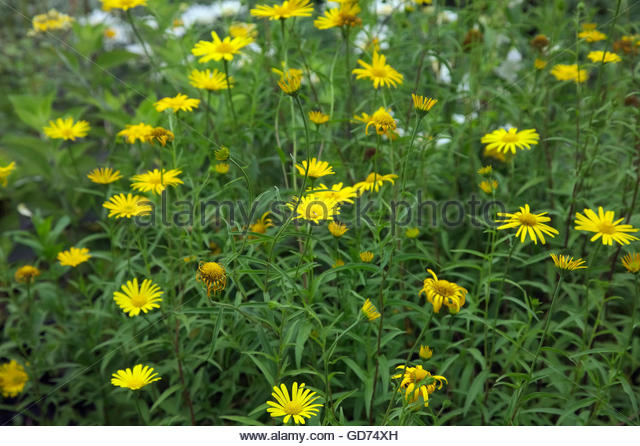 Yellow Lemon Daisy Stock Photos & Yellow Lemon Daisy Stock Images.