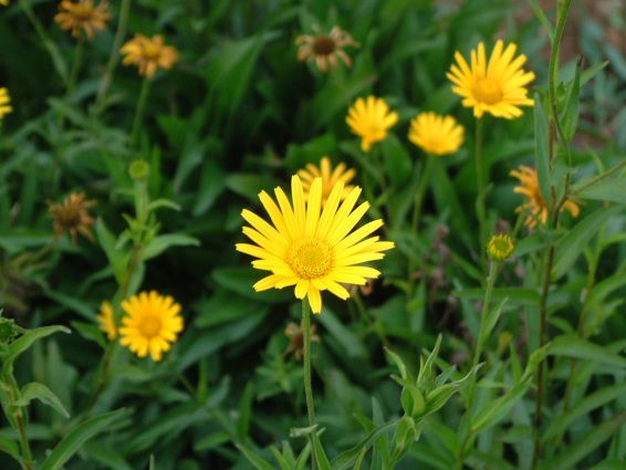 1000+ ideas about Buphthalmum Salicifolium on Pinterest.