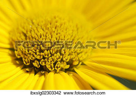 "Stock Photo of ""Yellow ox."