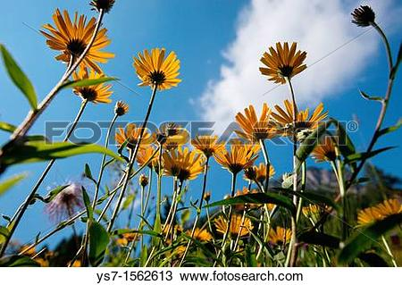 Stock Photo of Buphthalmum salicifolium, yellow oxeye daisy in an.