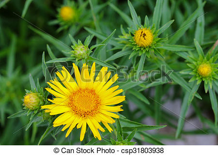 Stock Photos of Closeup of yellow Sunwheel flower (Buphthalmum.