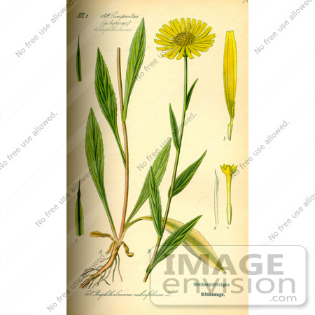 Picture of Yellow Oxeye Daisy (Buphthalmum salicifolium).