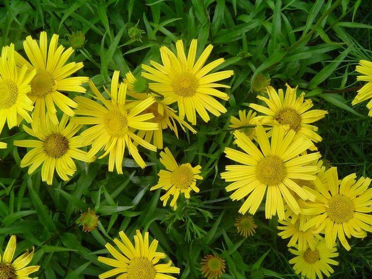 1000+ ideas about Buphthalmum Salicifolium on Pinterest.