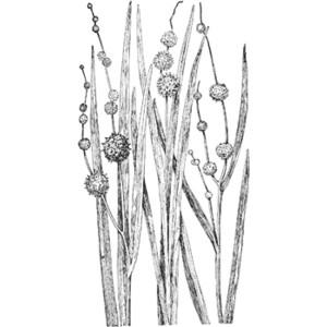 Bur Reeds Clipart.