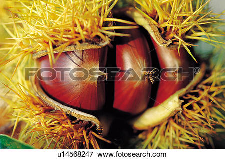 Picture of fruits, chestnut bur, fruit, thorns, thorn, new.