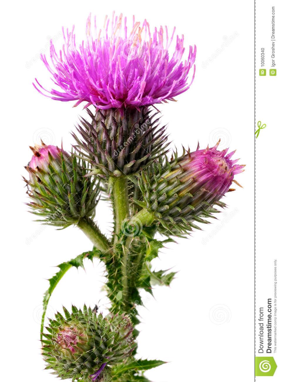Burdock Flowers Stock Photo.
