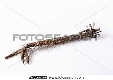 Stock Photo of Burdock Root u29900802.