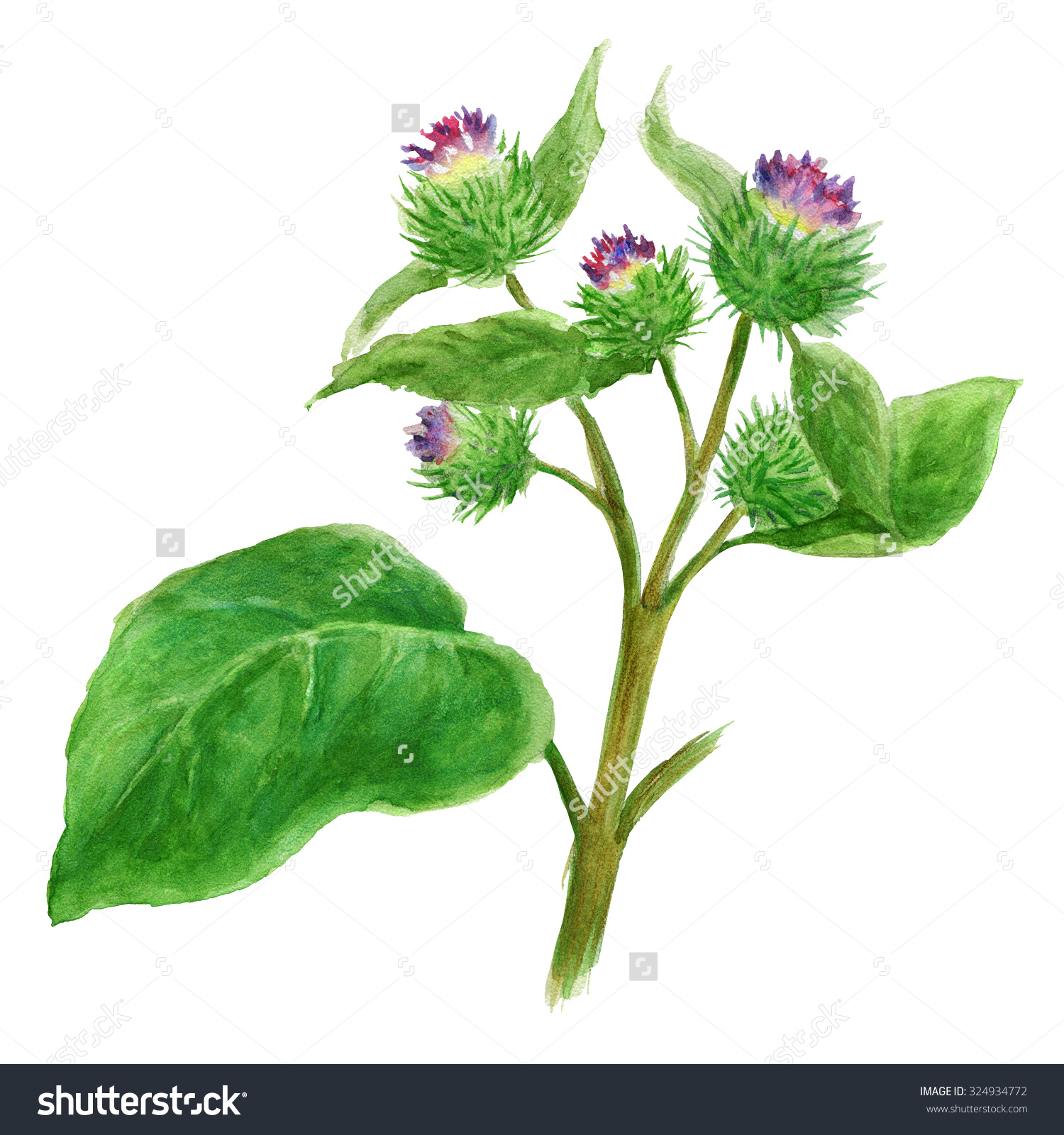 Watercolor Botanical Illustration Burdock Medicinal Plant Stock.