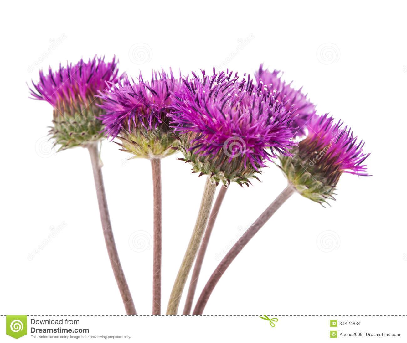 Burdock Flowers Stock Images.