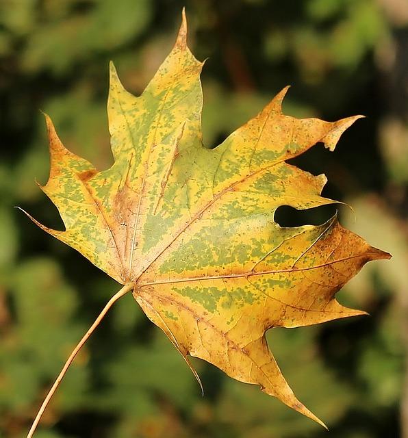 Free photo Orange Leaf Autumn Maple Fall Shades.