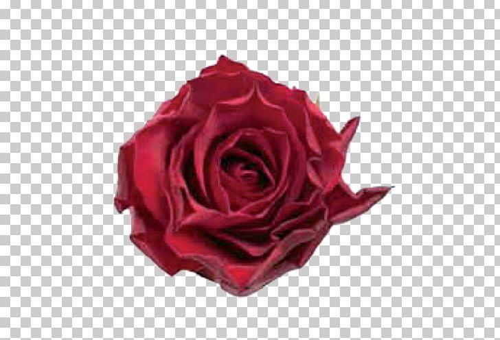 Centifolia Roses Flower Garden Roses Petal Burgundy PNG, Clipart.