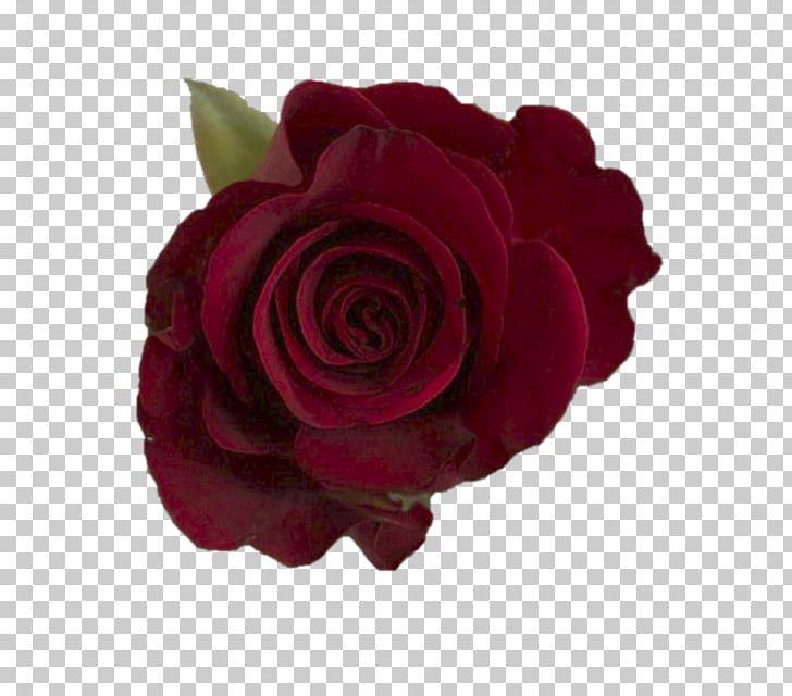 Garden Roses Cabbage Rose Floribunda Cut Flowers Burgundy PNG.