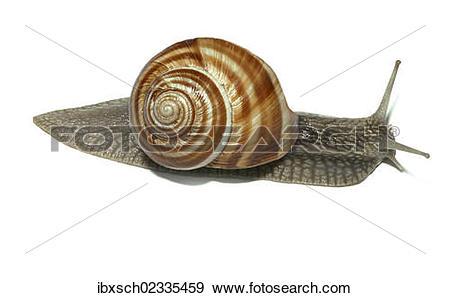 "Stock Photograph of ""Burgundy snail, Roman snail, edible snail or."