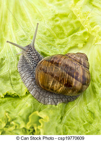 Stock Photography of Burgundy snail eating a lettuce leaf.