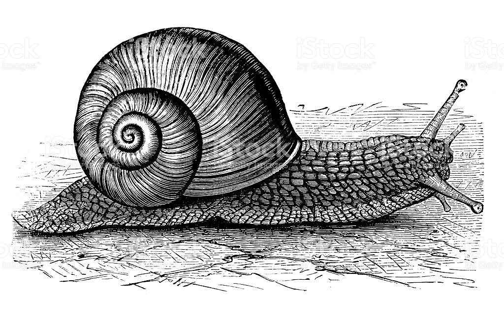 Antique Illustration Of Burgundy Snail Or Escargot stock vector.