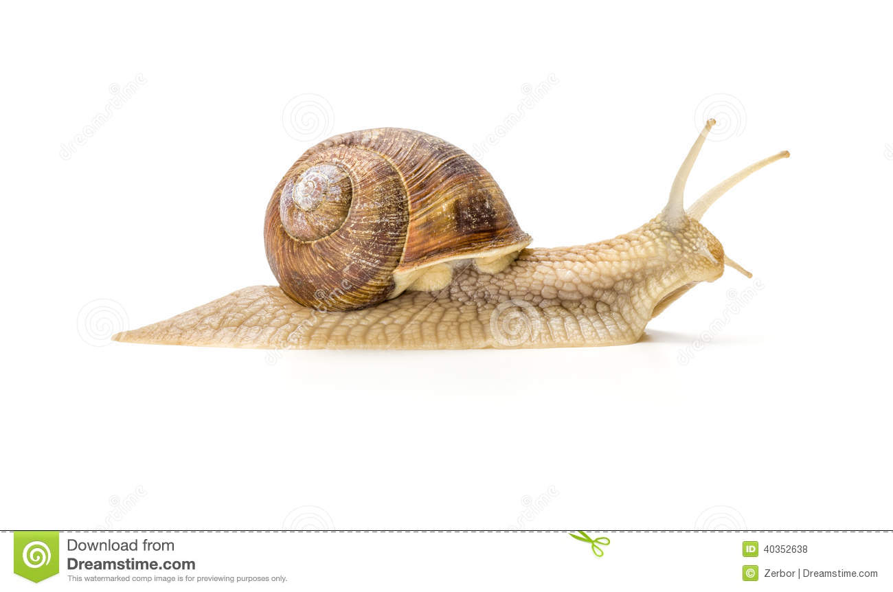 Burgundy Snail Stock Photo.