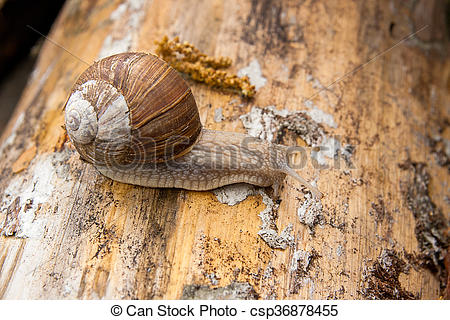Stock Images of Helix pomatia, common names the Burgundy snail.