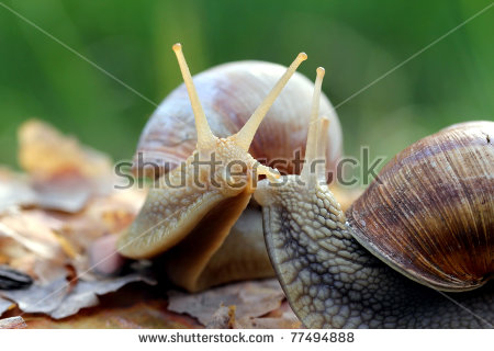 Helix Pomatia, Common Names The Burgundy Snail, Roman Snail.