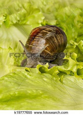 Stock Image of Burgundy snail eating a lettuce k19777655.