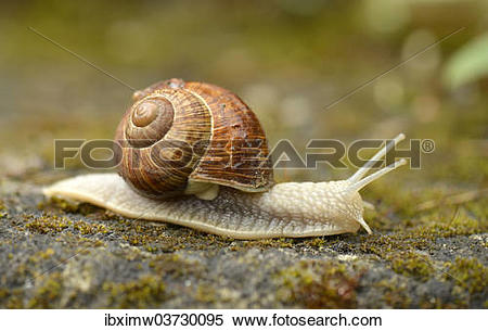 "Stock Image of ""Burgundy Snail or Edible Snail (Helix pomatia."