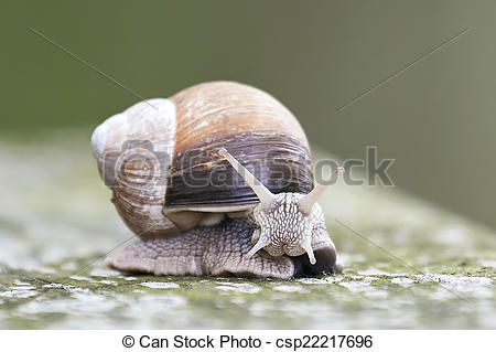 Stock Photographs of Burgundy snail (Helix pomatia).