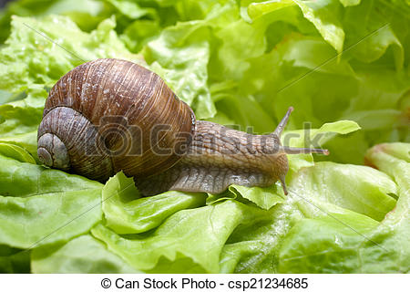 Pictures of Helix pomatia, Burgundy snail.