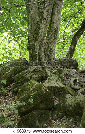 Stock Image of Old tree above 5000 years old burial mound.