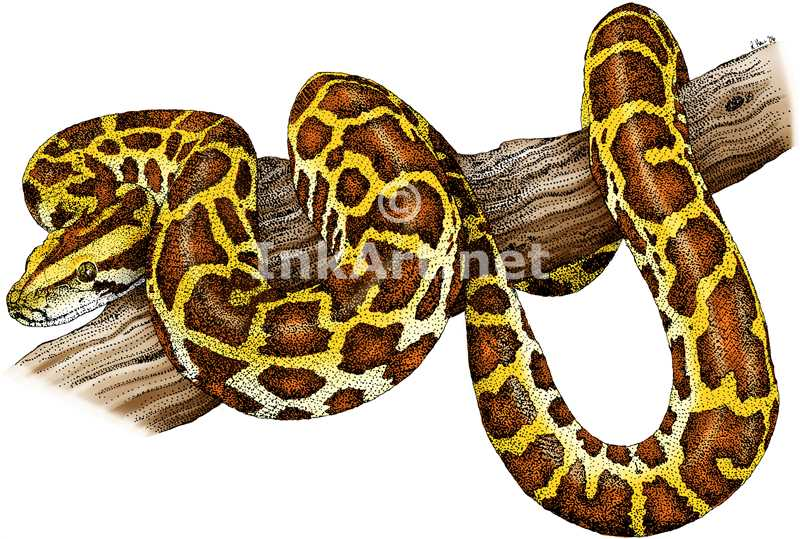 Burmese Python Clip Art Related Keywords & Suggestions.