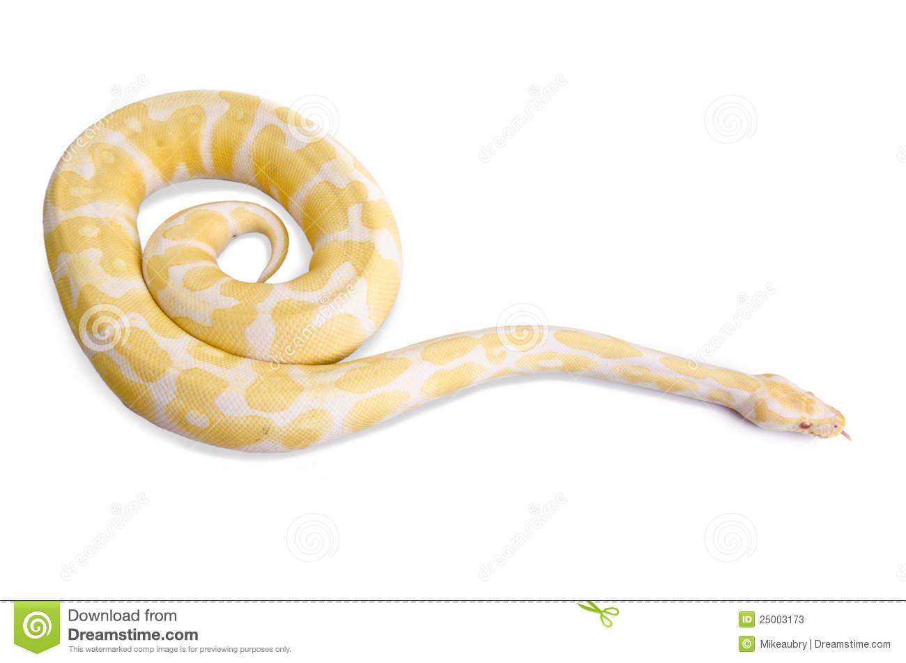 Burmese Python. Royalty Free Stock Image.