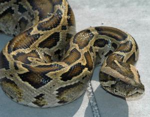 Burmese Python Clip Art Download.