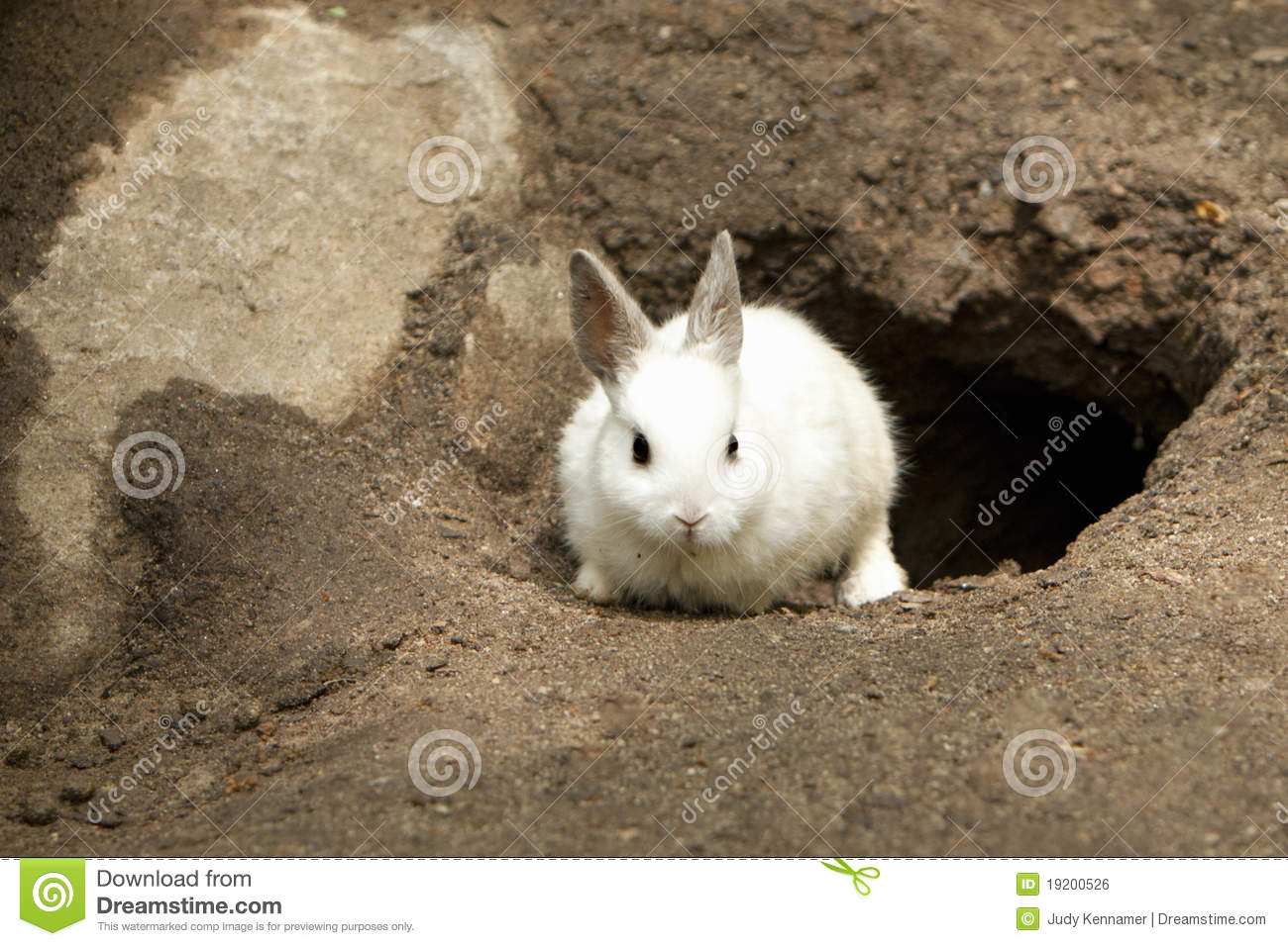 Cute White Rabbit Leaving Burrow Royalty Free Stock Image.