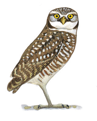 Burrowing owl legal clipart.