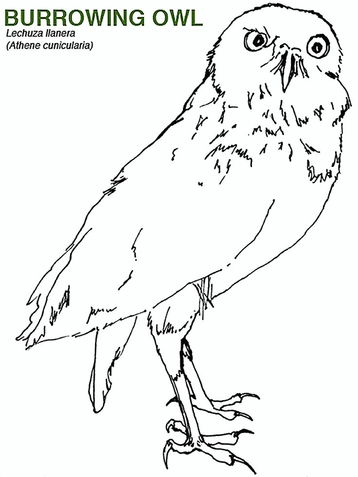 Free Burrowing Owl Clipart phoenix, Download Free Clip Art on Owips.com.