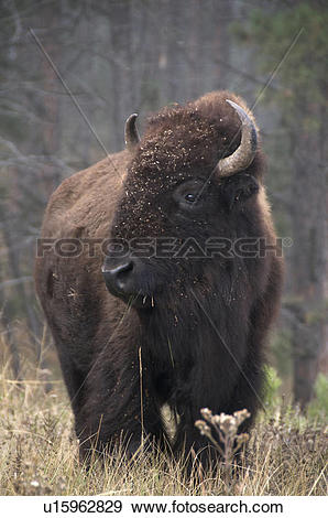 Stock Photograph of American Bison (Bison bison), standing in tall.