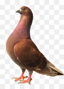 Burung Merpati PNG and Burung Merpati Transparent Clipart.