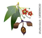 Bottle Tree (Brachychiton Populneus) Seed Pods.