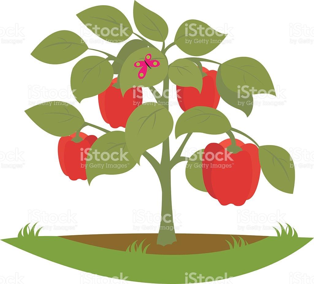 Bush Pepper Fruits stock vector art 528917018.