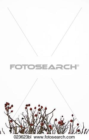 Stock Photo of red fruits on bush in winter 023623bl.