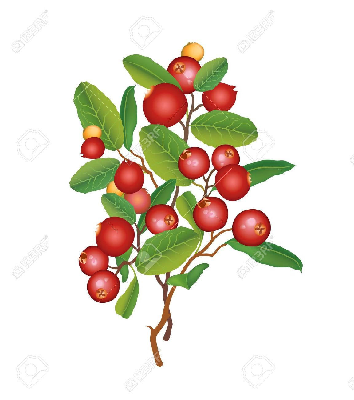Cranberry Berry Garland Ripe Red Cranberries With Leaves Bush.