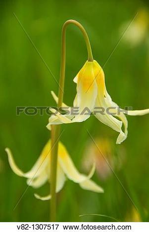 Picture of Fawn lily (Erythronium oreganum), Bush Park, Salem.