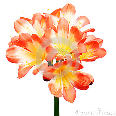 Clivia Miniata (Bush Lily) In Bouquet On Black Royalty Free Stock.