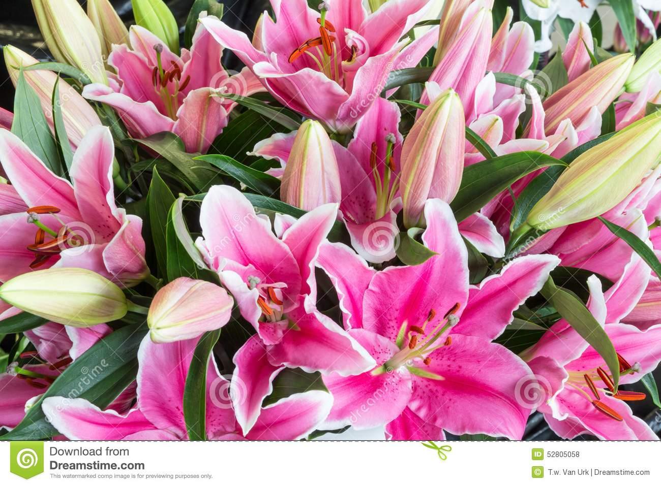 Bush Of Purple Lily Flowers (Lilium) Stock Photo.