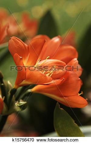 Stock Photography of Clivia Miniata (bush lily) yellow orange.