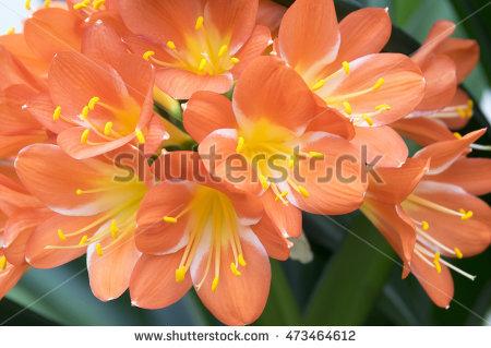 "bush Lily"" Stock Photos, Royalty."