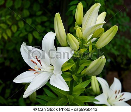 Stock Photos of White Lily.